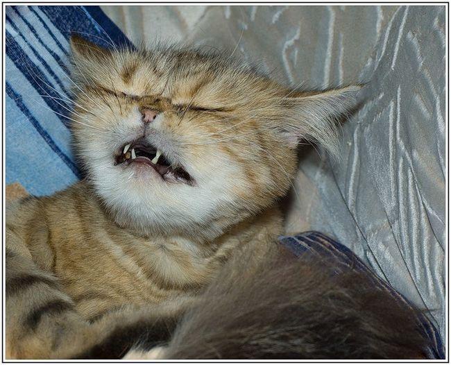 если кот кашляет и чехает какое лекарство нужно дать