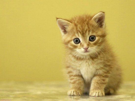 у маленьких котят блохи интоксол