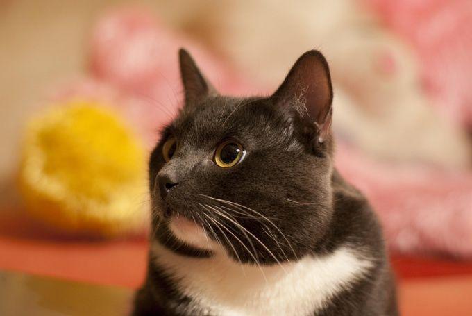 Как кастрировать кота
