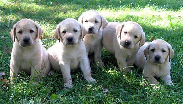 клички собак лобладоров мальчик