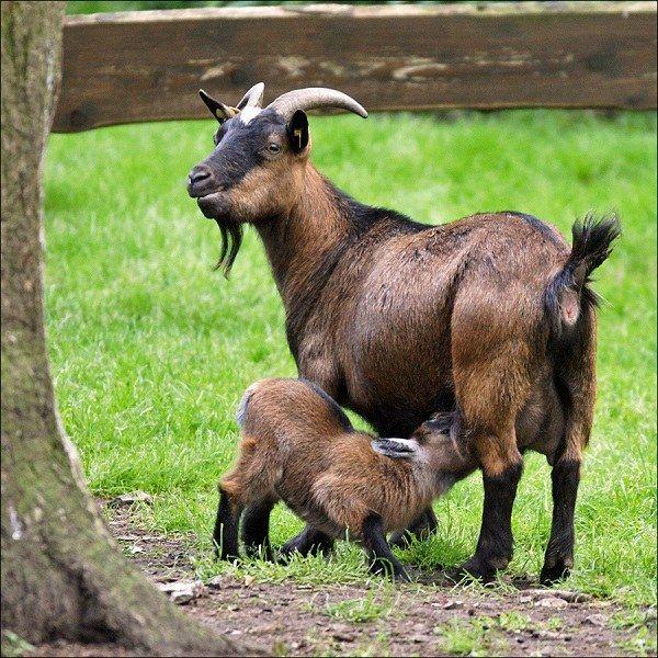 о козах: как содержать