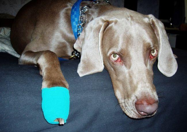 последствия плечевого вывиха у собак