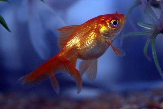 Как лечить манку у рыбок