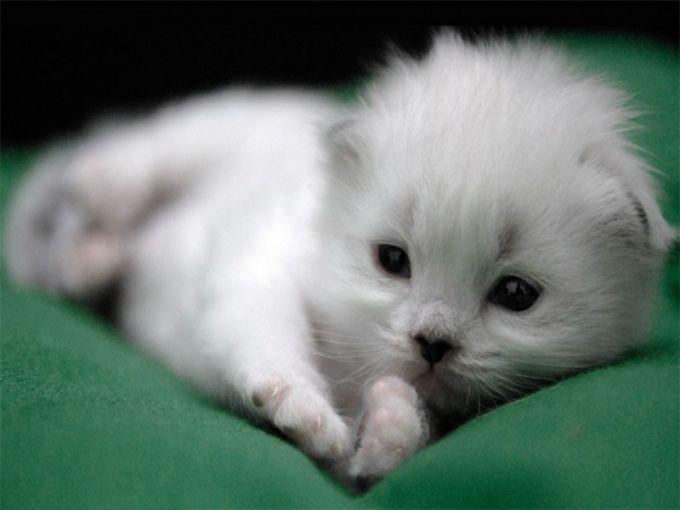 имена и аксессуары для пушистых белых котят