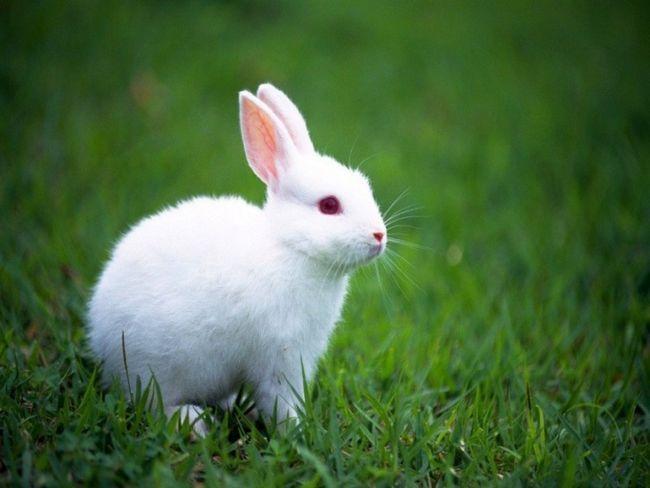 Как обрабатывать кроличьи шкурки