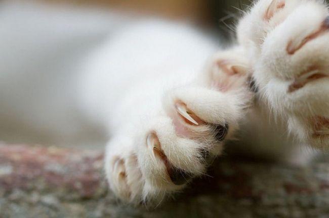 Как обрезать когти котятам