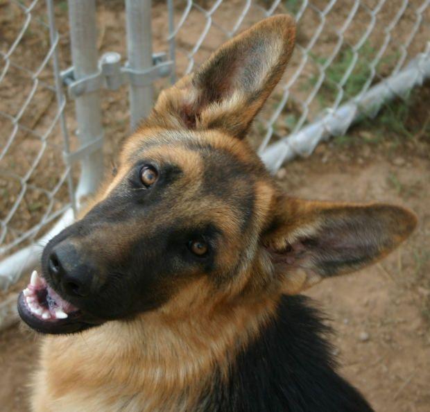Как сделать родословную для собаки