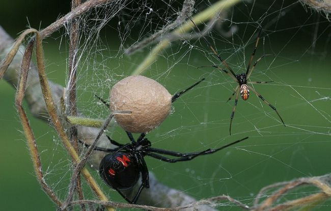 Как пауки плетут паутину