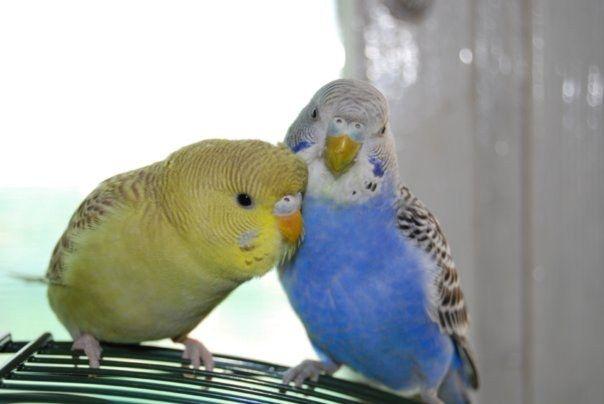 определить пол у волнистых попугаев больше 5 месяцев