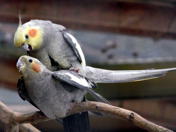 как определить попугай корелла умир?