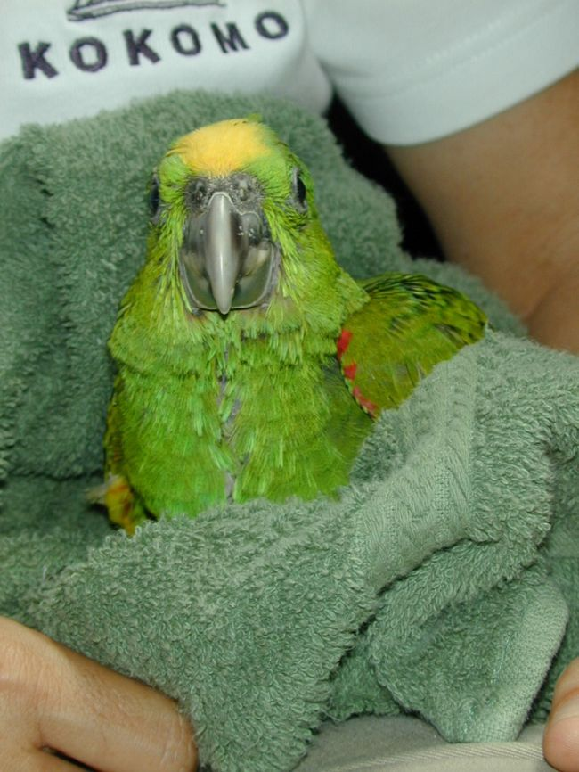 Как научить попугая купаться