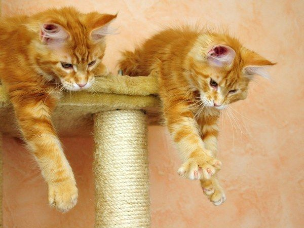 выбрать когтеточку для кошки