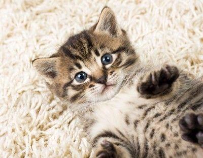 Воспитанием котенка необходимо заниматься с самого раннего возраста