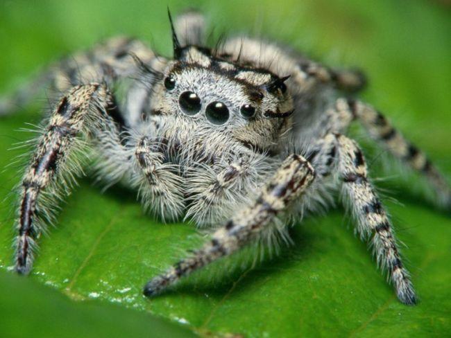Как узнать ядовитого паука