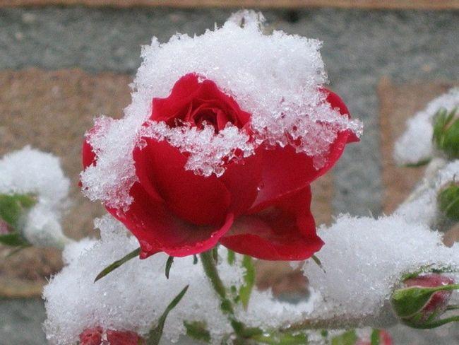 Как подготовить розы к зимнему укрытию