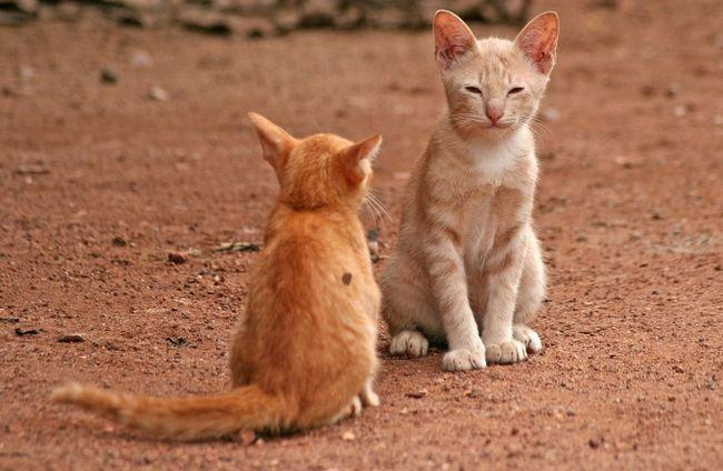 Как подружить кота и кошку