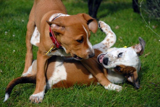 Как подружить собак