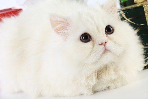 как чесать маленького персидского котёнка