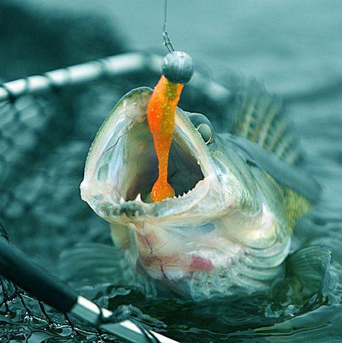 Как поймать судака