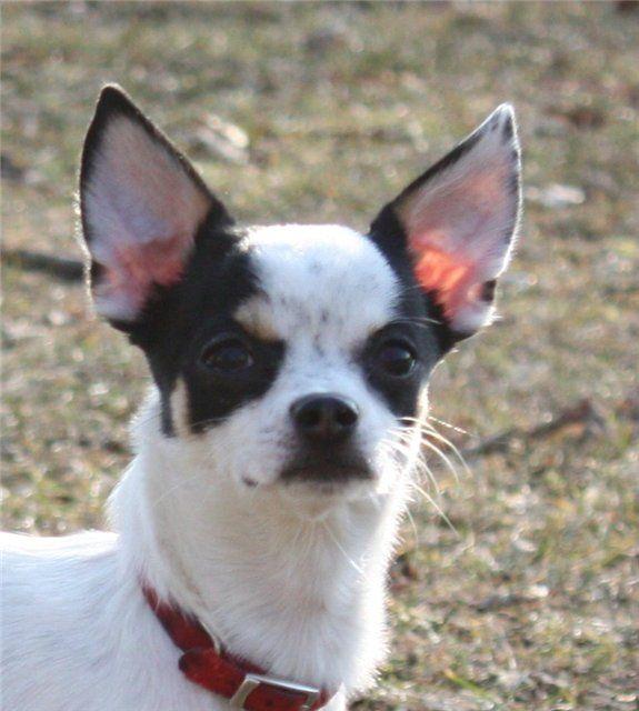 Как поставить уши чихуахуа