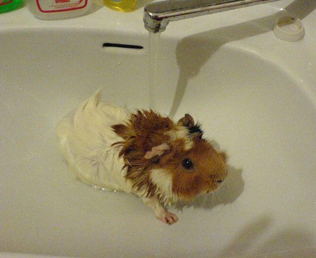 Как мыть морских свинок