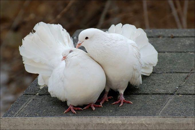 размер летка для голубей