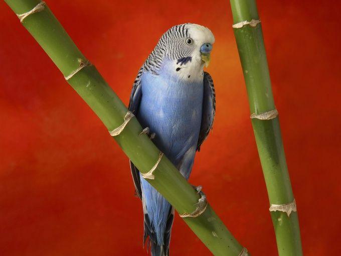 Как приручить волнистого попугая