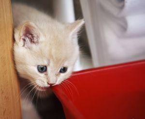 Как приучить к сухому корму котенка