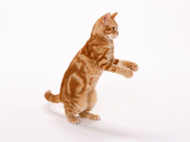Как приучить кота к рукам