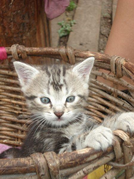 можно ли приучить шотладского котенка спать в домике