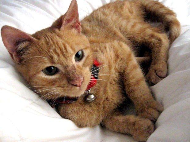 Как проводится операция для кошек «Бархатные лапки»