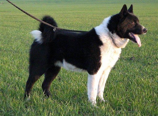 до какого возраста растут собаки овчарки