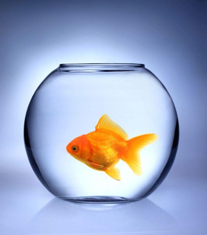 Как ухаживать за золотыми рыбками