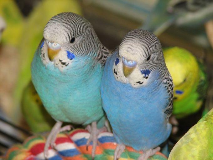 Как различить волнистых попугаев