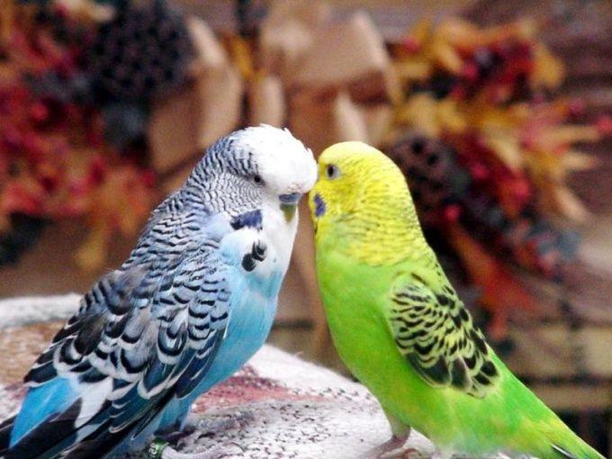 Как развести волнистых попугаев