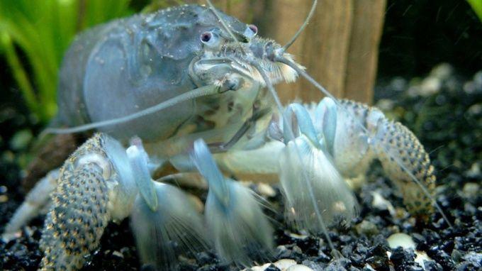 как содержать раков в аквариуме
