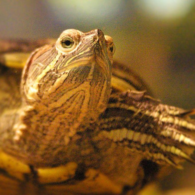 Как сделать аквариум для черепах