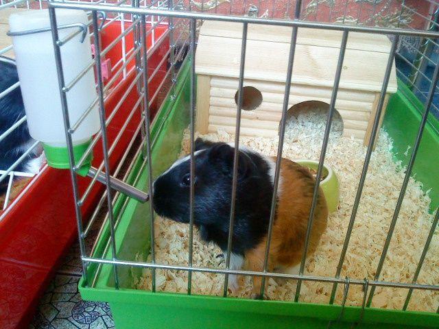 Как сделать клетку для свинки