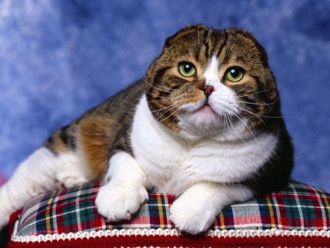 во сколько месяцев сводить кошку шотландскую вислоухую