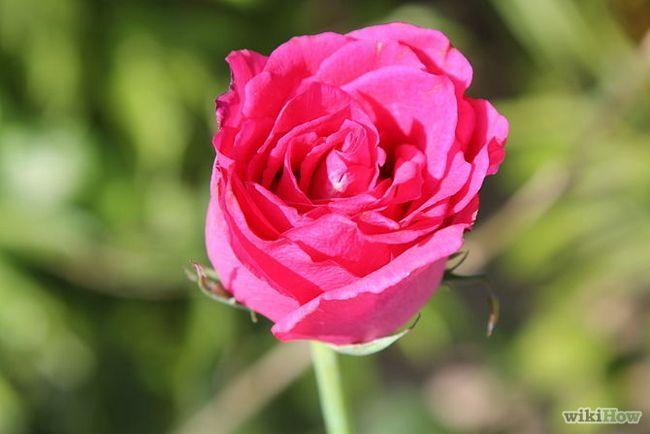 Как сушить лепестки роз