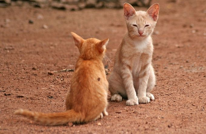как подружить домашнего кота и уличного