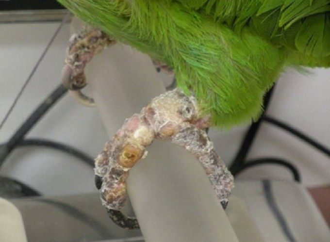 лечение попугаев от клеща