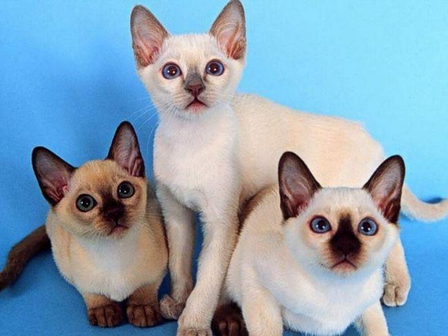 воспитание сиамские коты