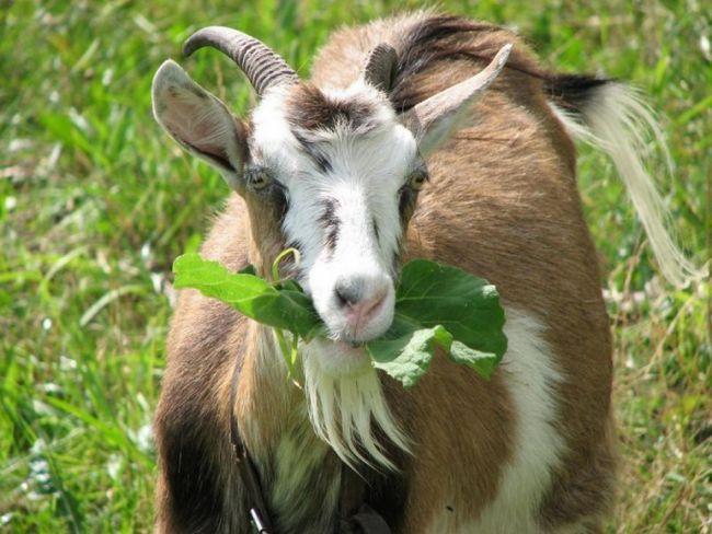 Как повысить удои козы