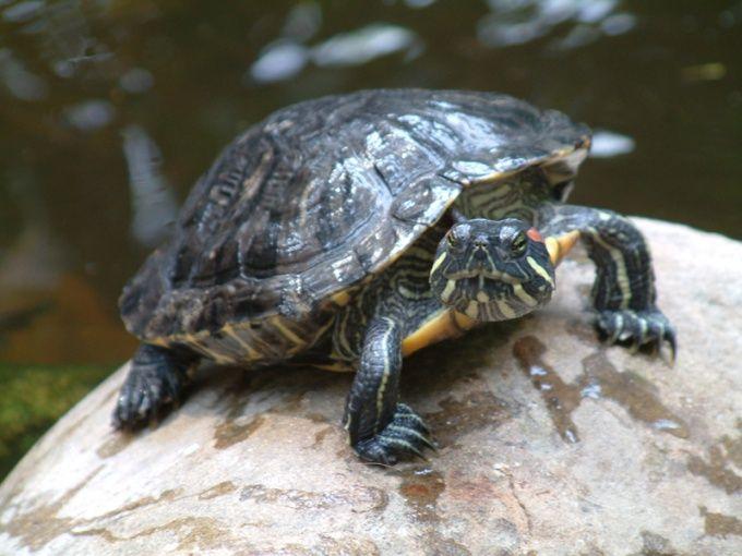 Как определить пол у красноухой черепахи