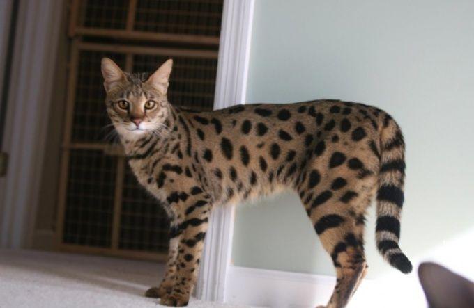 Как выбрать котенка породы ашера