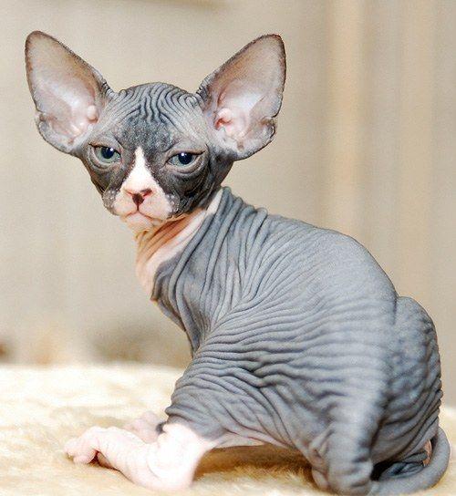 где купить котенка сфинкса