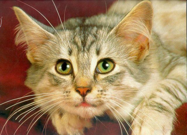 как узнать породистый кот или нет