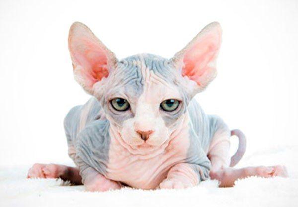 Как вывели кошек породы сфинкс