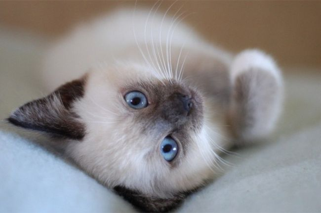 Как выбрать сиамского котенка при покупке